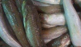 Cá Mối
